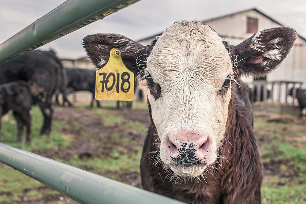 Cattle7018.jpg