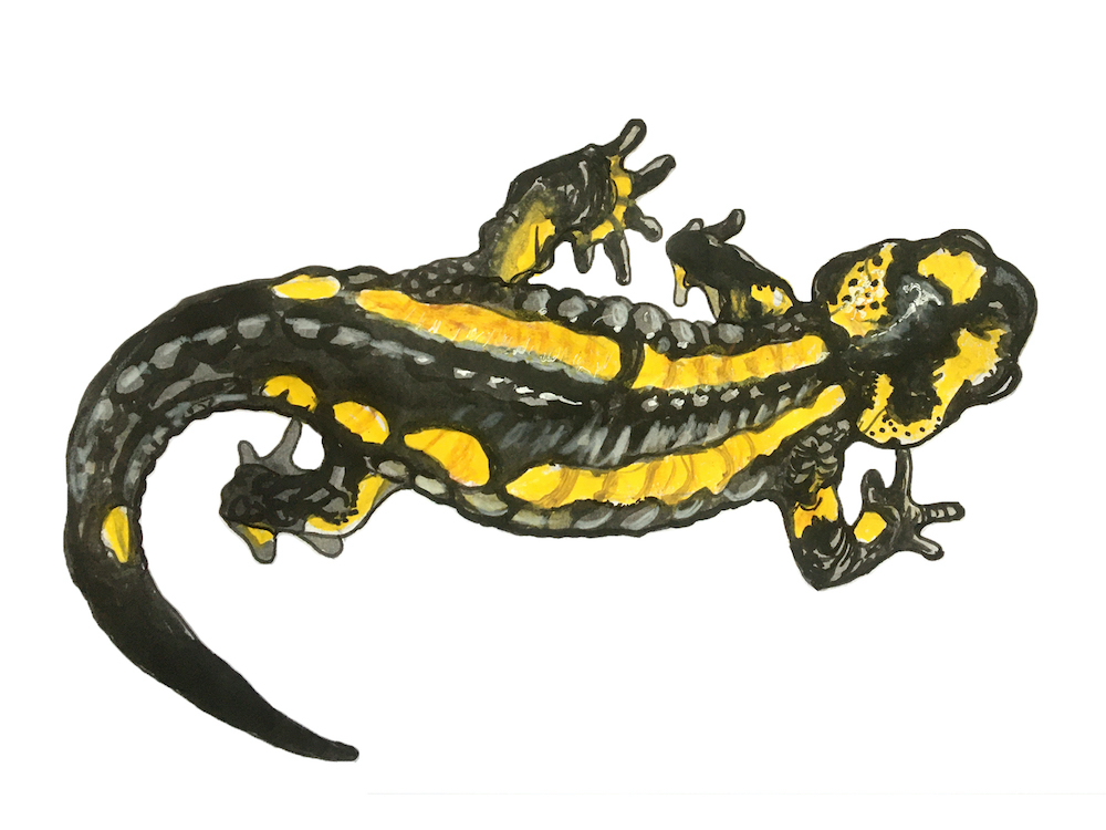 851px version of DWIllus-Newt.jpg