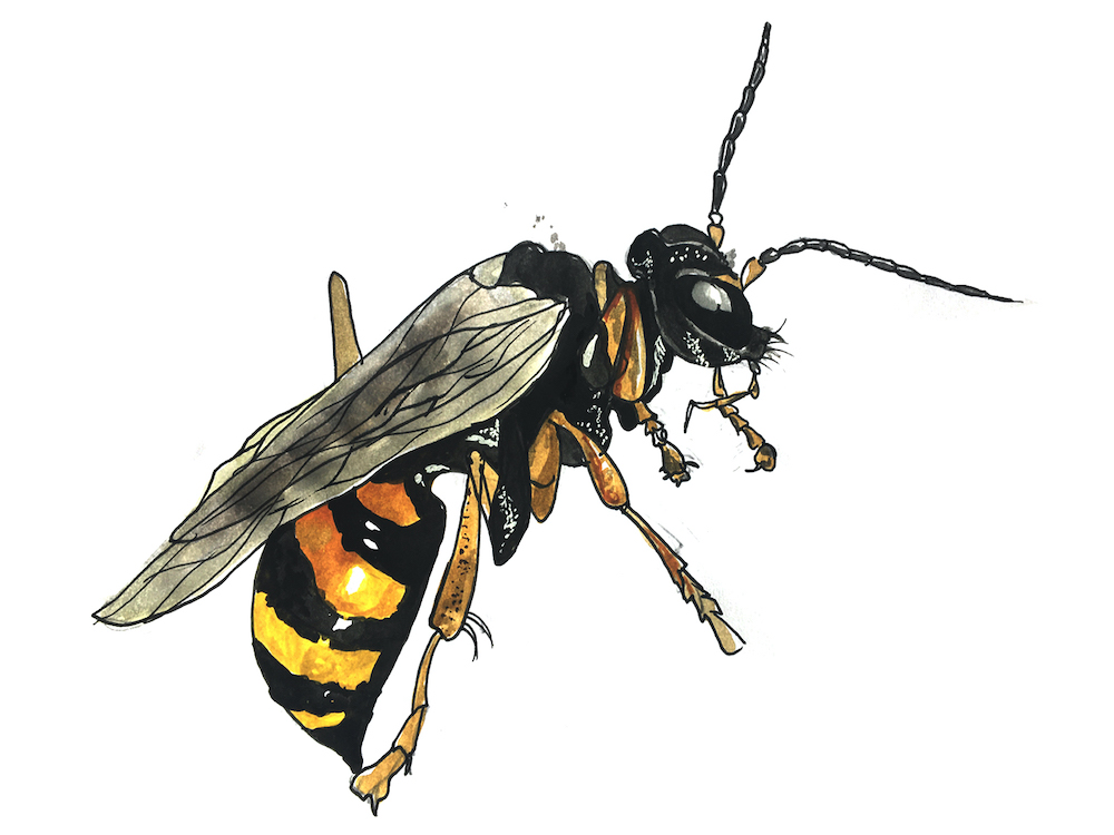 851px version of DWIllus-Wasp.jpg