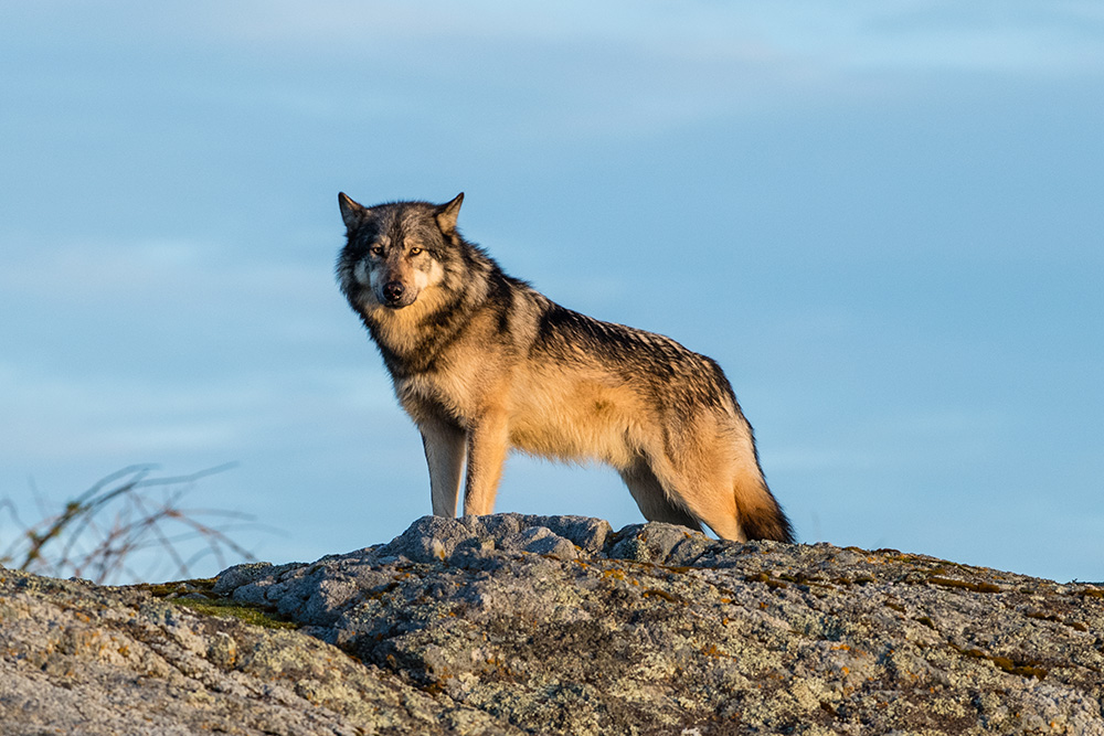 On Knowing, and Loving, a Lone Wolf   The Tyee