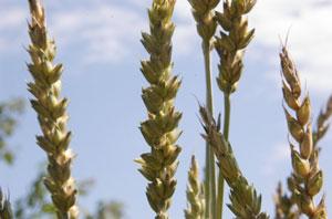 marquis-wheat.jpg