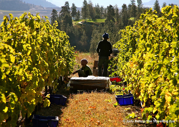 Okanagan grape pickers