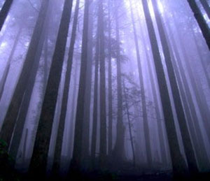 Foggy Dark Woods Forest