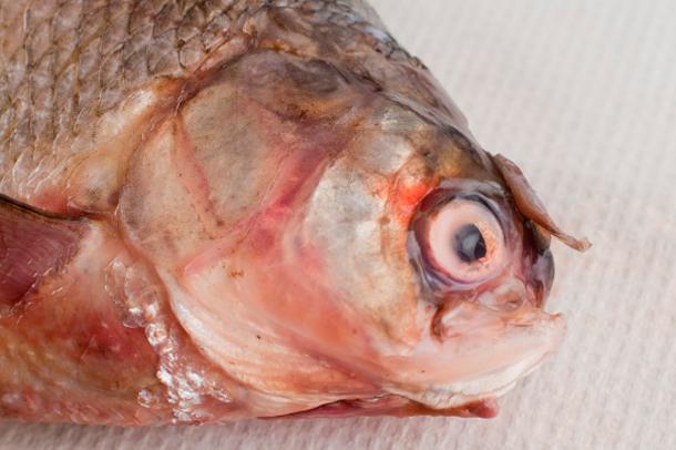 Deformed Athabasca fish