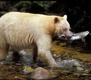 Great Bear photo