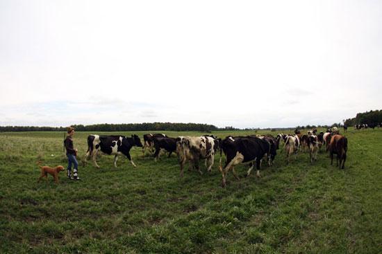 Arwa De Groot, dairy cows