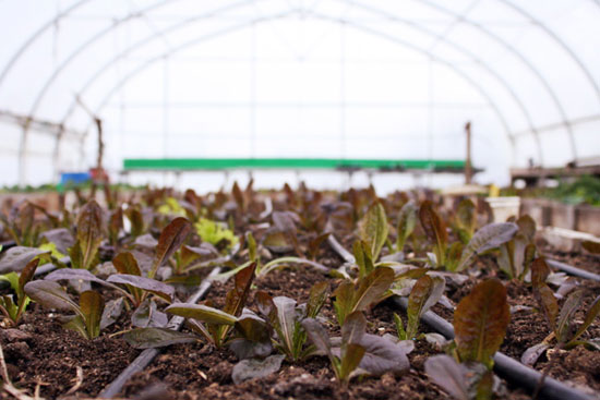 Tiny buds of red-lettuce, Terra Nova Farm