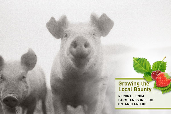 Pigs with local food series graphic