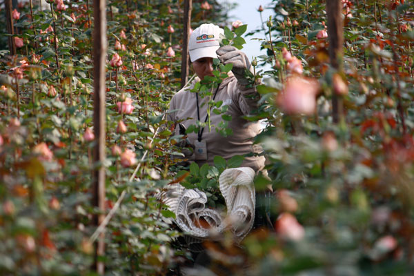 Worker harvesting flowers at Fairtrade certified Hoja Verde farm in Cayambe, Ecuador