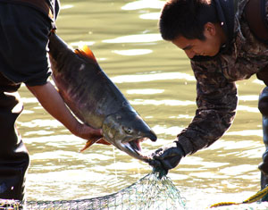 Chum salmon caught and released, Harrison River