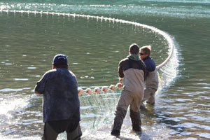Researchers pull in a seine net on the Harrison River, salmon