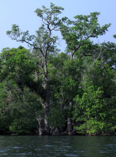 Old growth mangrove, Tulap, Indonesia