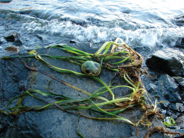 Eelgrass on beach