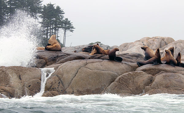 Sea Lions on Central Coast