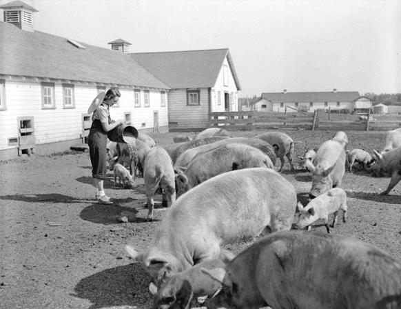 582px version of Pig farming