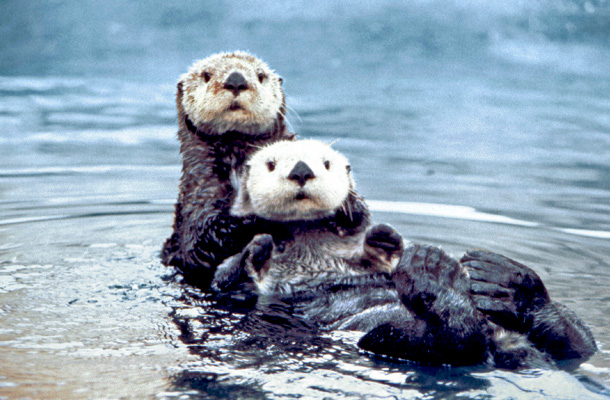 A pair of sea otters
