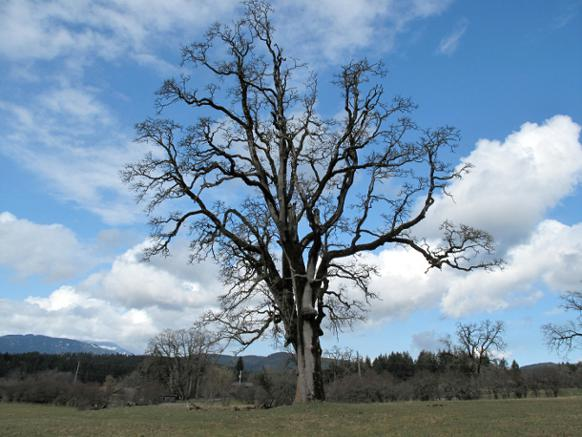 582px version of 'The Giant' in Cowichan Garry Oak Preserve
