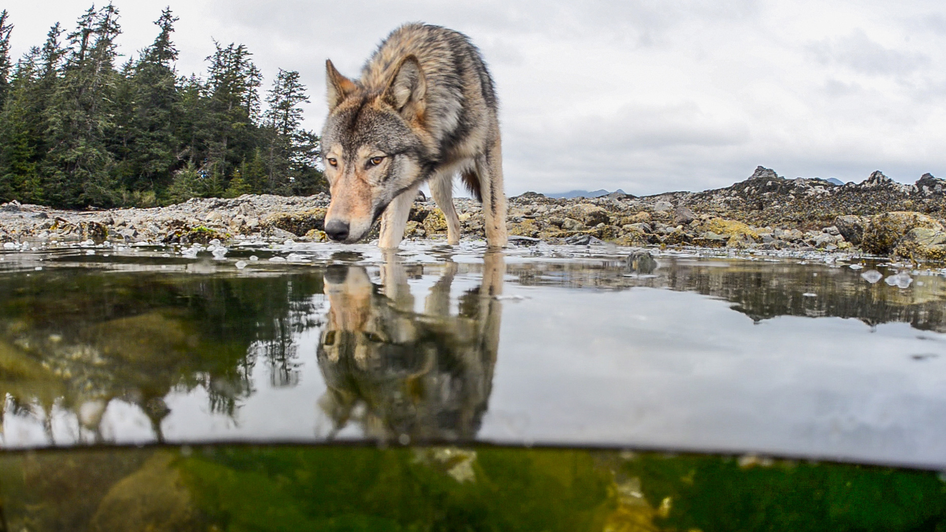 Vancouver Island Wolf Warning