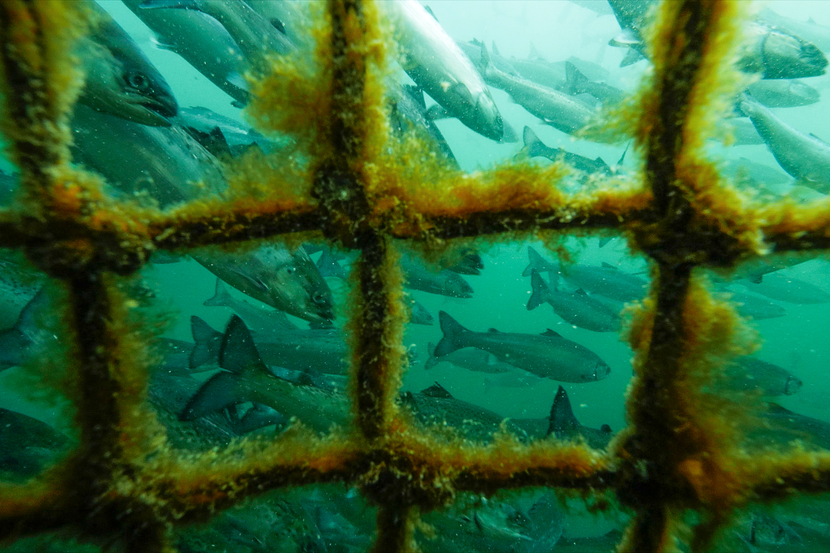 salmon-farm-underwater.jpg