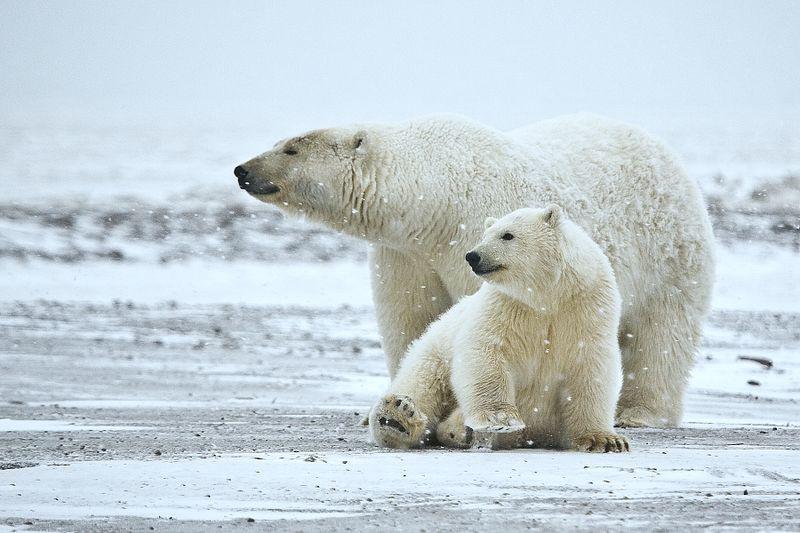 PolarBearsSnow.jpg