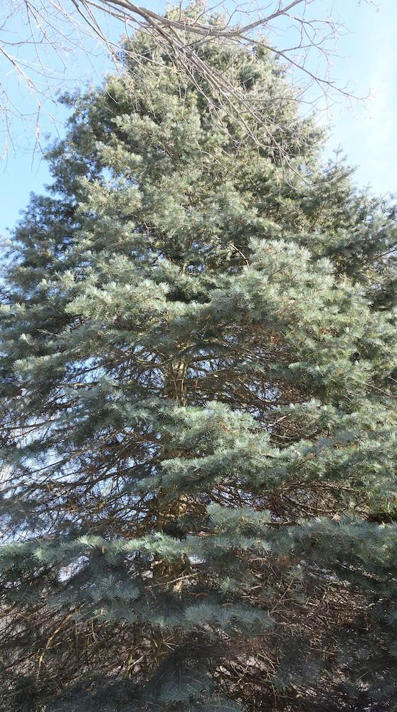 diana-evergreen-tree-adjusted-use-this.jpeg