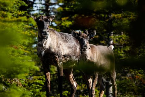 The Secret to Caribou Recovery? Indigenous Leadership