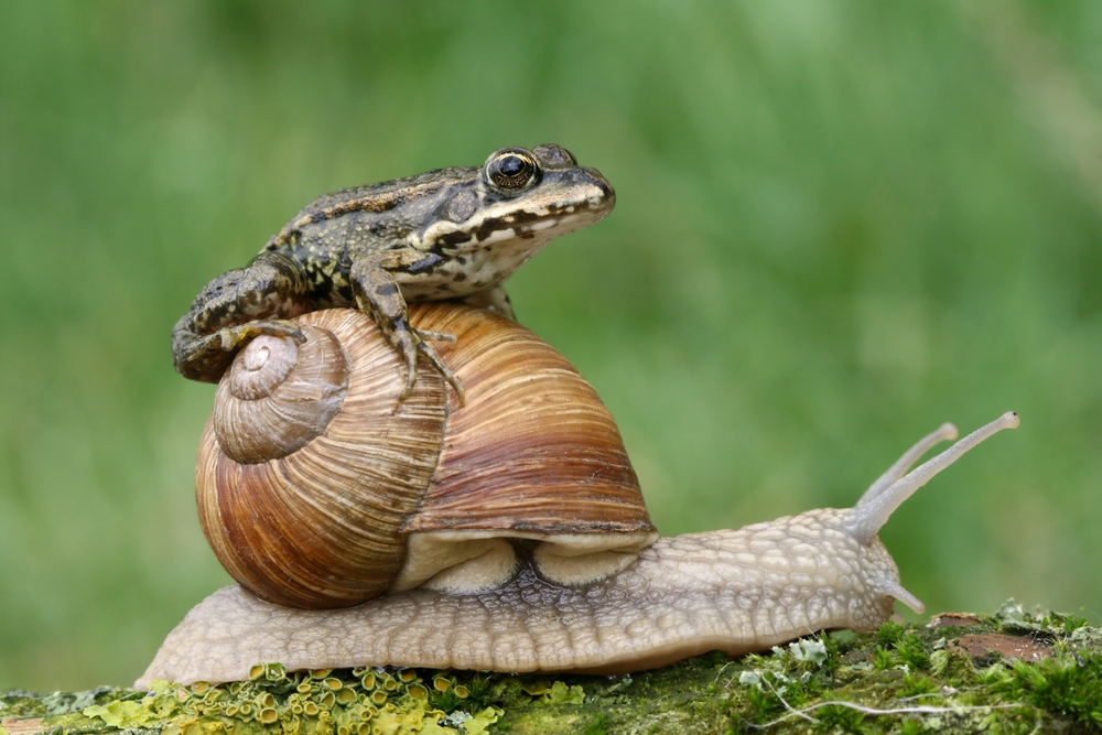 Frog on a snail shell