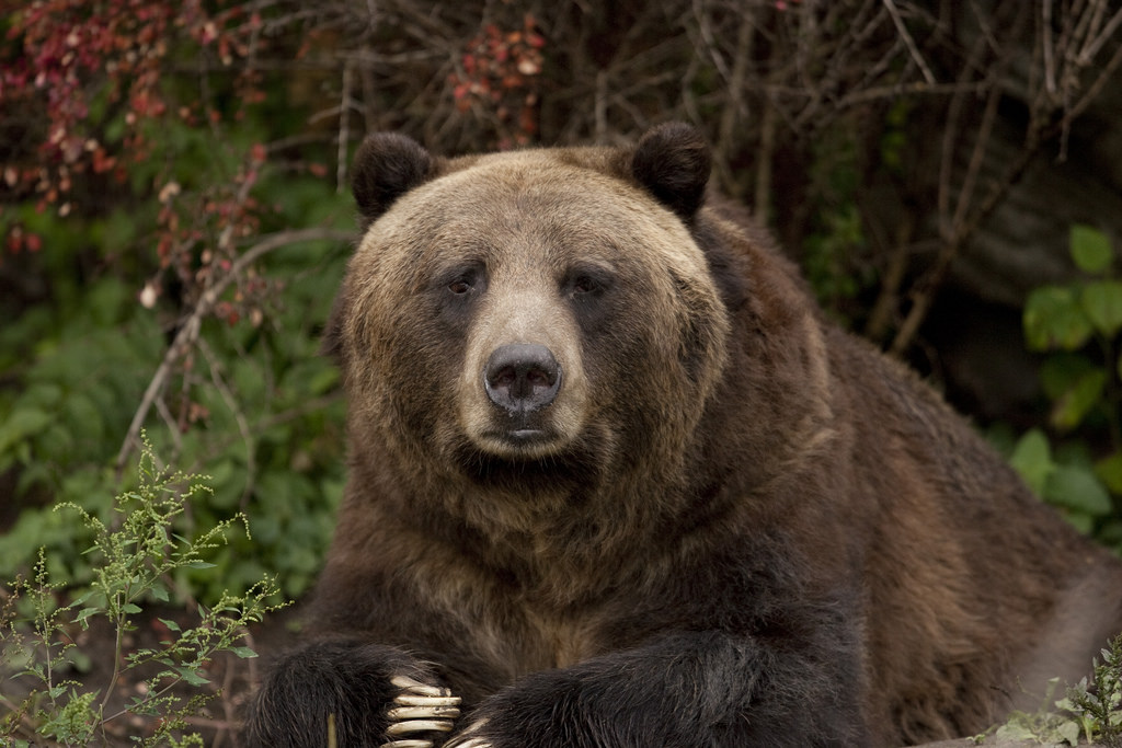 851px version of Grizzly-Face.jpg
