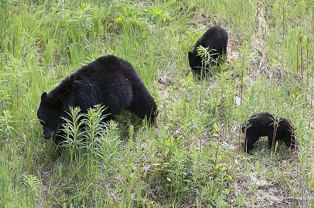 Bear-and-Cubs.jpg