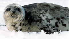 the harp seal essay Walrus 185511 profile walruses have wrinkled brown and pink skin long, coarse  harp seal excellent diver 582830 blue whale the earth's largest animal 544617.