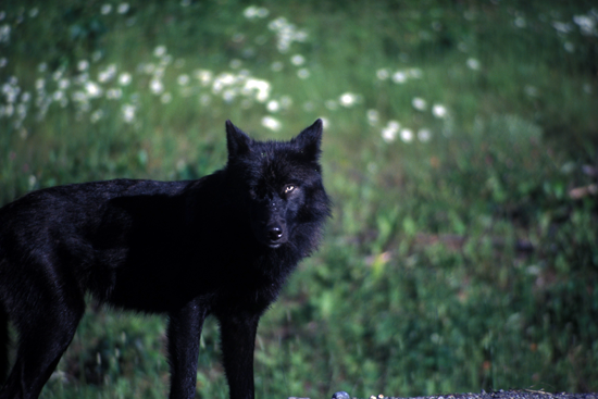 black wolf with green eyes - photo #19